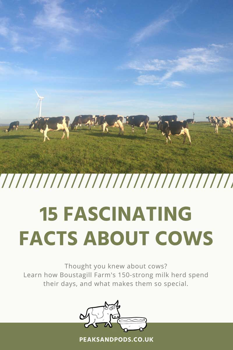 15 fascinating facts about cows